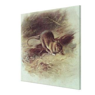 Brown Rat  1918 Gallery Wrap Canvas