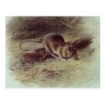 Brown Rat  1918 Post Card