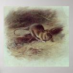 Brown Rat  1918 Print