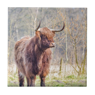 Brown scottish highlander cow standing in spring tile