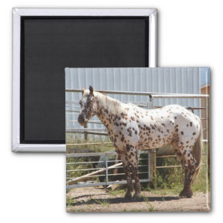 Brown spotted Appaloosa horse Square Magnet