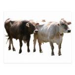Brown Swiss Cows Postcard