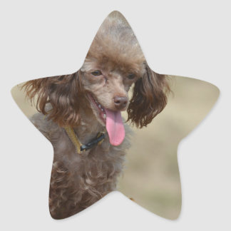 Brown Toy Poodle Star Sticker