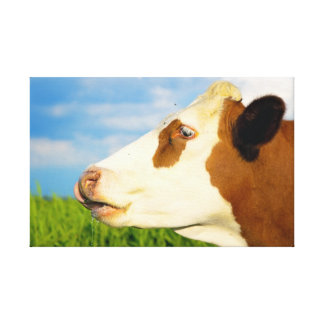 Brown white cow looking straight ahead stretched canvas prints