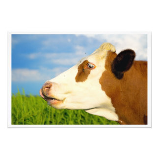 Brown white cow looking straight ahead photograph