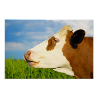 Brown white cow looking straight ahead poster