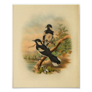 Brown's Flycatcher Black Bird Vintage Print