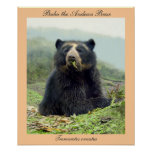 Bubu the Andean Bear at Yanahurco, Ecuador Poster