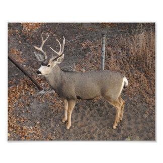 Buck Photo Print