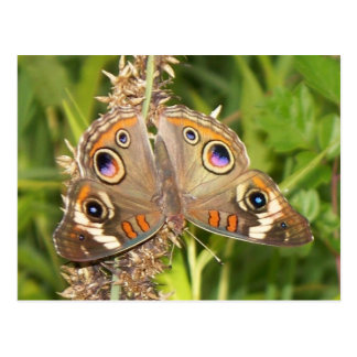 Buckeye Butterfly Postcard