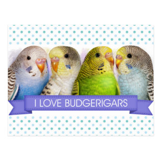 Budgerigars realistic painting postcard