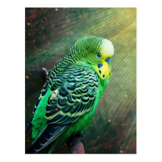Budgie Bird Postcard