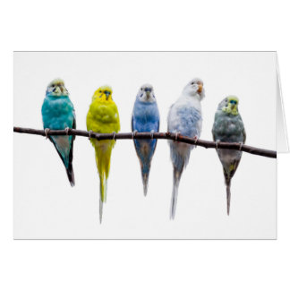 Budgie Birds Card
