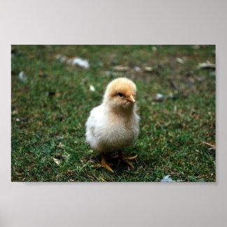 Buff Orpington Chick Poster