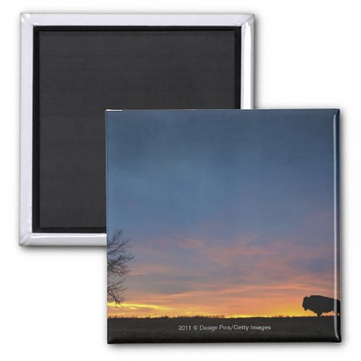 Buffalo At Sunset In Elk Island National Park Square Magnet