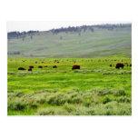 Buffalo Field Postcards