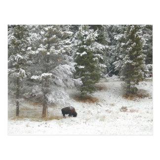 Buffalo In Yellowstone National Park Postcard