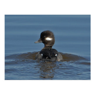 Bufflehead Postcard