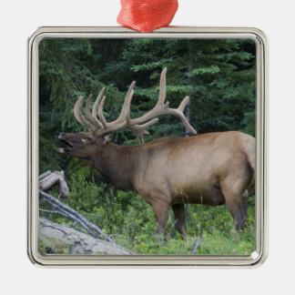 Bugling elk in Banff National Park, Canada. Christmas Ornament