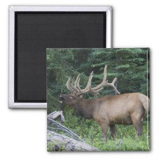 Bugling elk in Banff National Park, Canada. Magnet