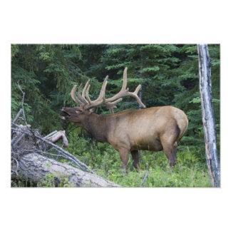 Bugling elk in Banff National Park, Canada. Photo Print