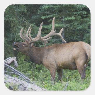 Bugling elk in Banff National Park, Canada. Square Sticker