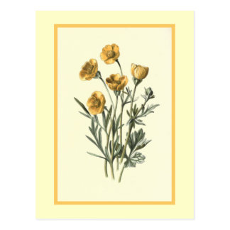 """Bulbous Crowfoot"" Botanical Illustration Postcard"