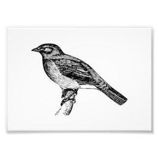Bulbul Bird Sketch Photographic Print
