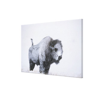 Bull Bison (Bison bison) caked with snow in a ragi Canvas Print