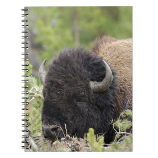 Bull Bison Resting in Forest, Yellowstone Notebook