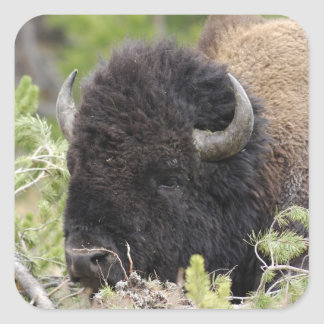 Bull Bison Resting in Forest, Yellowstone Square Sticker