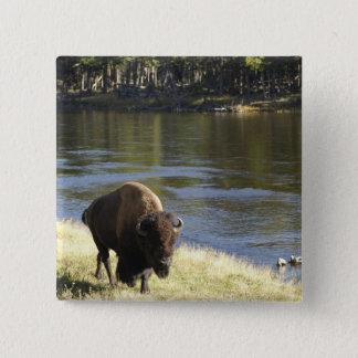 Bull Bison Walking Along River, Yellowstone 15 Cm Square Badge