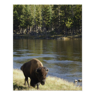 Bull Bison Walking Along River, Yellowstone Poster