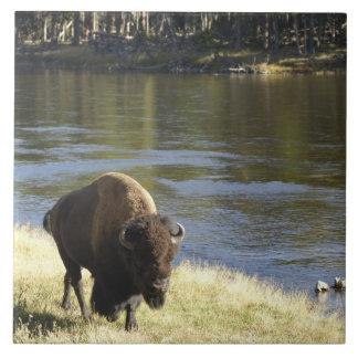 Bull Bison Walking Along River, Yellowstone Tile