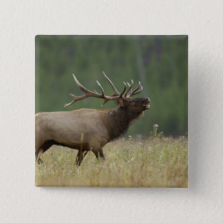 Bull Elk bugling, Yellowstone NP, Wyoming 15 Cm Square Badge