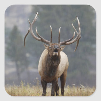 Bull Elk bugling, Yellowstone NP, Wyoming 2 Square Sticker