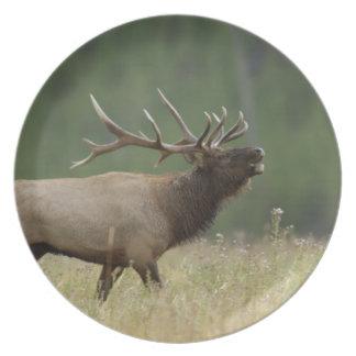 Bull Elk bugling, Yellowstone NP, Wyoming Plates