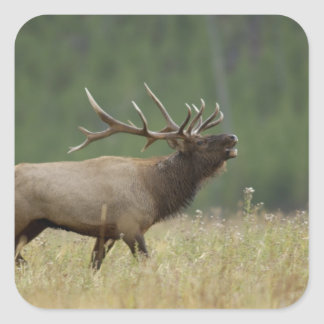 Bull Elk bugling, Yellowstone NP, Wyoming Square Sticker