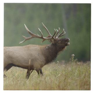 Bull Elk bugling, Yellowstone NP, Wyoming Tile