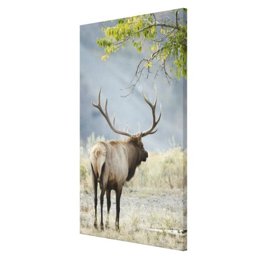 Bull Elk, Cervus canadensis, in the Stretched Canvas Prints