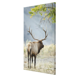 Bull Elk, Cervus canadensis, in the Canvas Print