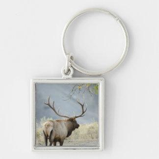 Bull Elk, Cervus canadensis, in the Key Ring