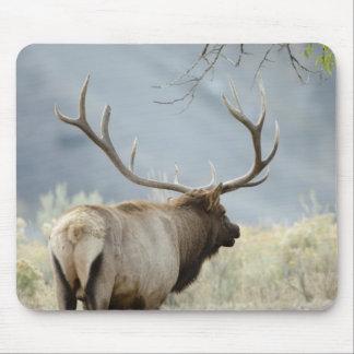 Bull Elk, Cervus canadensis, in the Mouse Mat