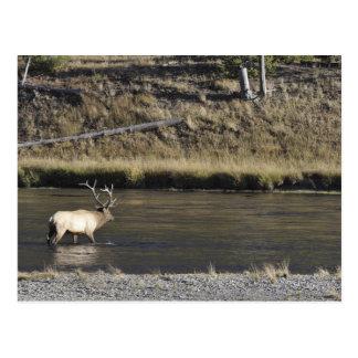 Bull Elk Crossing Madison River, Yellowstone 2 Postcard
