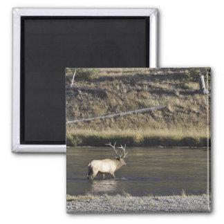 Bull Elk Crossing Madison River, Yellowstone 2 Square Magnet