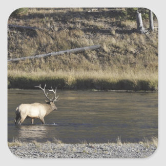 Bull Elk Crossing Madison River, Yellowstone 2 Square Sticker
