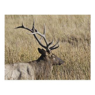 Bull Elk Crossing Madison River, Yellowstone 3 Postcard