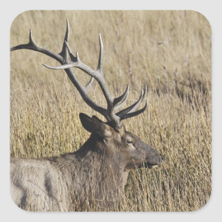 Bull Elk Crossing Madison River, Yellowstone 3 Square Sticker