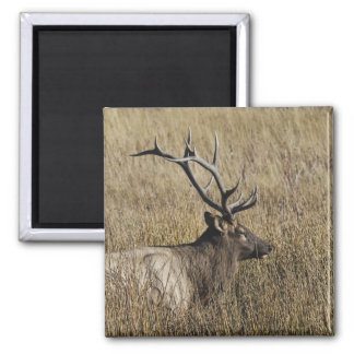 Bull Elk Crossing Madison River, Yellowstone Square Magnet