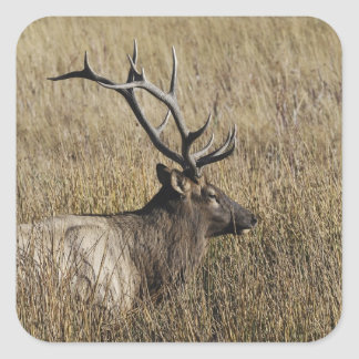 Bull Elk Crossing Madison River, Yellowstone Square Sticker